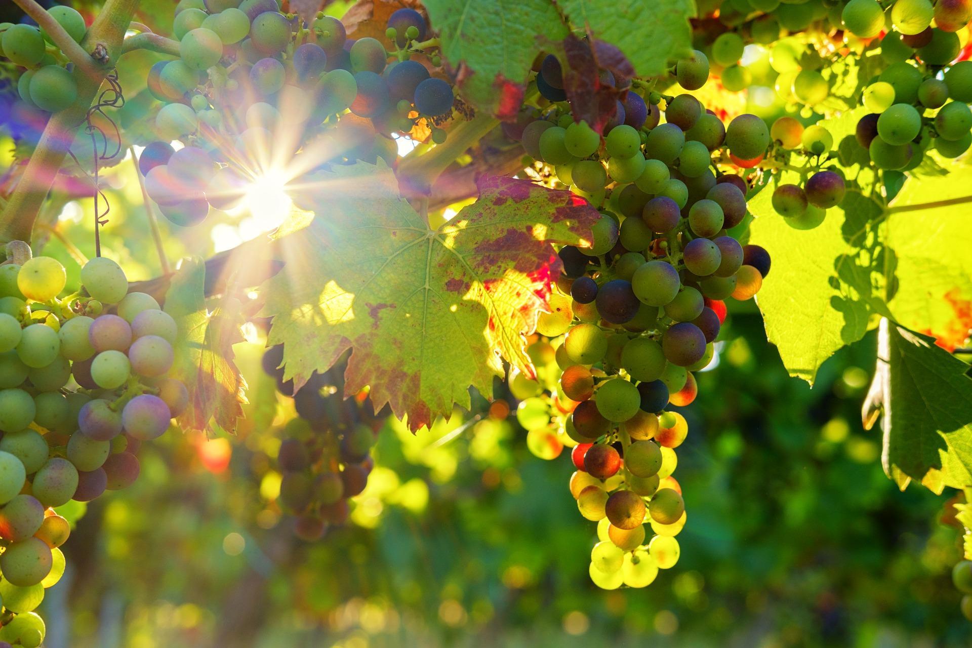 grapes-3550729_1920